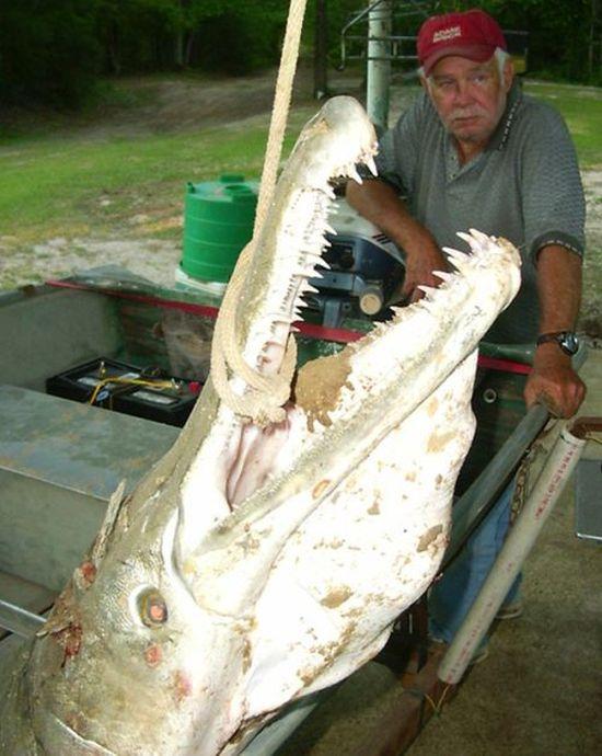 Миссисипский панцирник или рыба-аллигатор (16 фото)