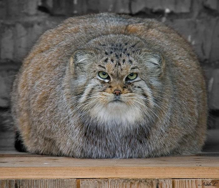Интересные фотографии диких котов – манулов (25 фото)