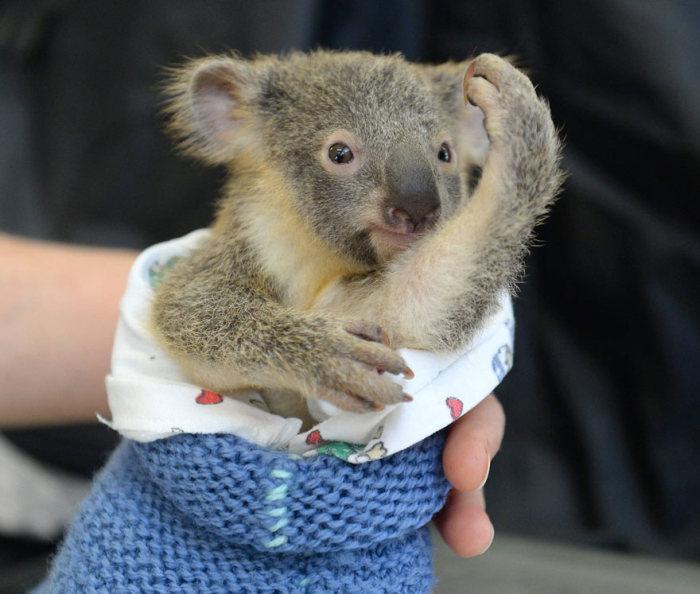 Детеныша коалы не стали разлучать с матерью даже на время операции (6 фото)
