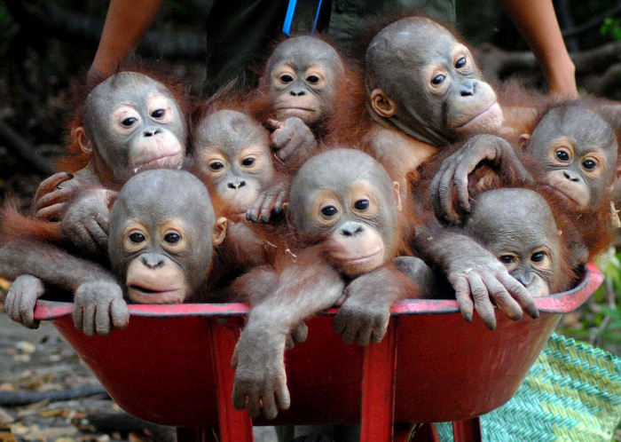 Маленькие орангутанги ленятся ходить пешком (7 фото)