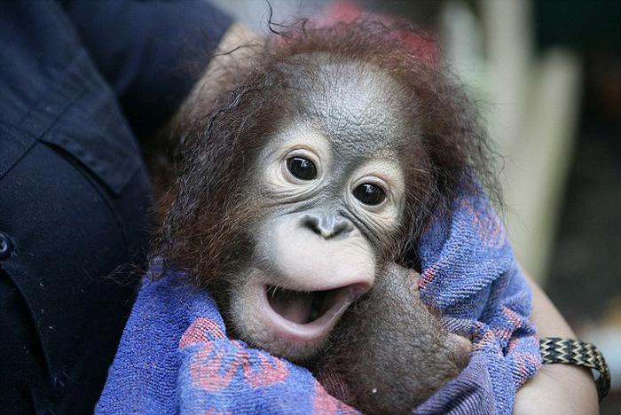 Купание маленького орангутана (4 фото)