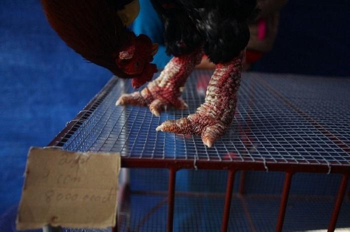 Донг Тао - куры с лапами дракона (14 фото)