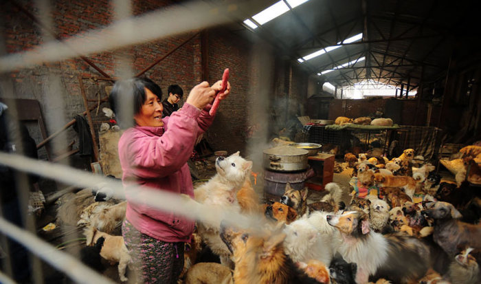 Пожилая китаянка спасла 100 собак, которых должны были съесть (16 фото)