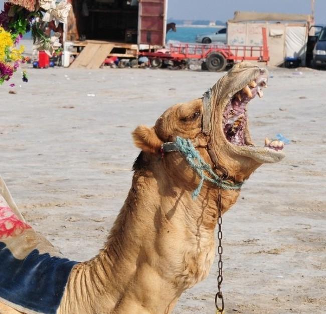 Как выглядит пасть верблюда (7 фото)