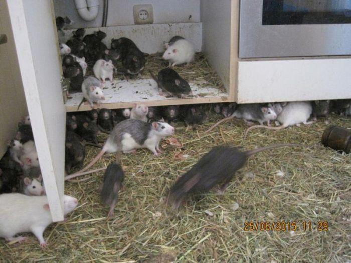 В Мюнхене мужчина делил свою 2-комнатную квартиру с тремя сотнями крыс (14 фото)