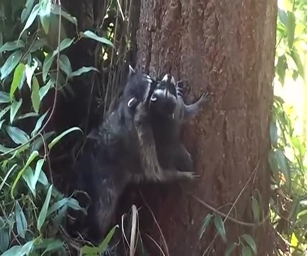 Мама учит детеныша лазать по деревьям