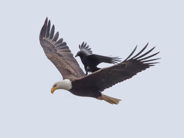 Ворона оседлала орлана (5 фото)