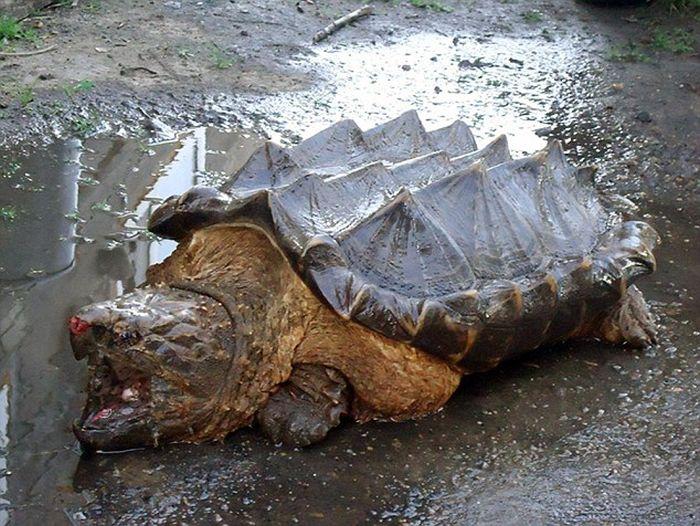В реке Амур обнаружили экзотическую грифовую черепаху, обитающую в Южной Америке (4 фото)