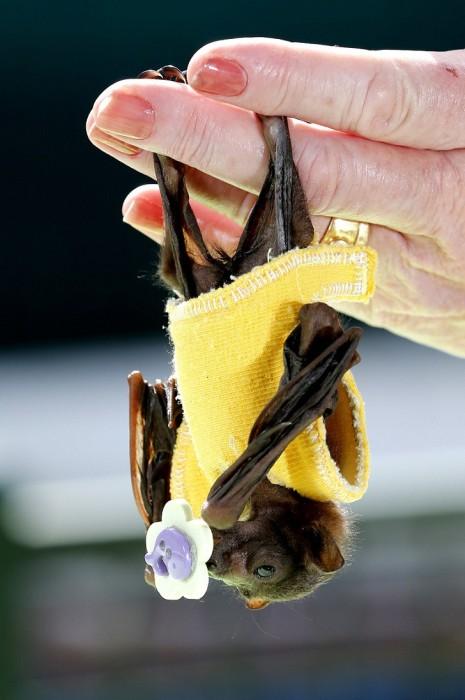 Джонни Депп взял на себя опеку над осиротевшей летучей собакой (7 фото)