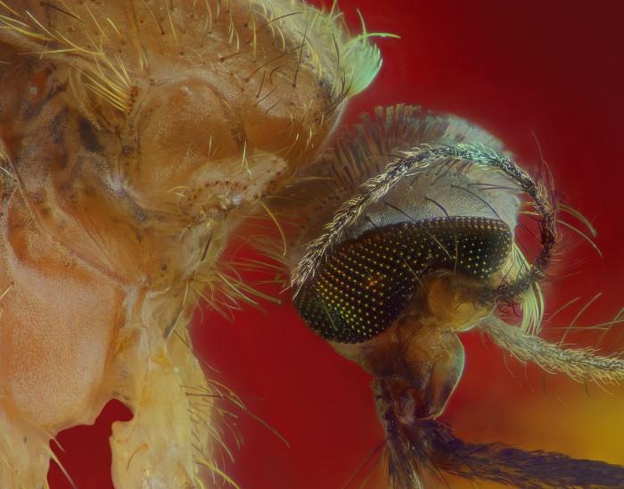 Детальное знакомство с хоботком комара (7 фото)
