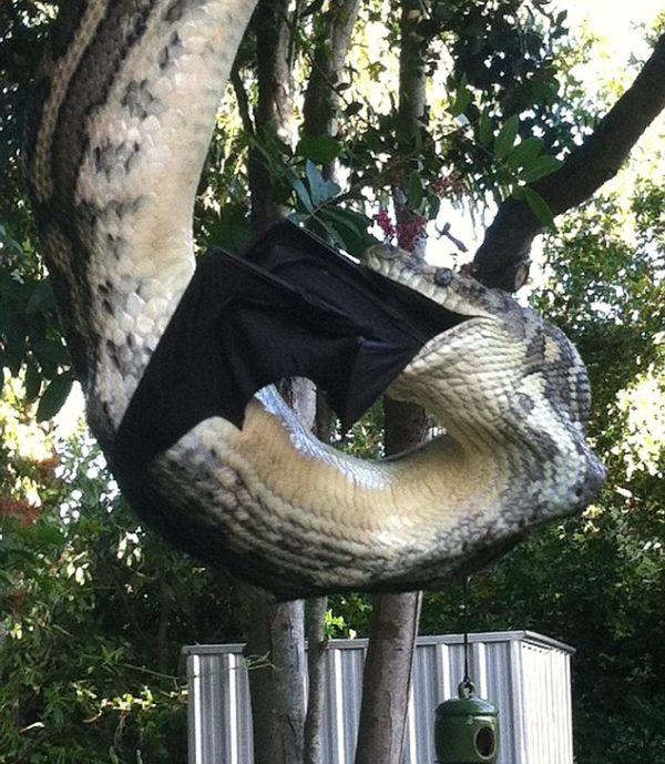 Задний двор австралийской семьи стал местом охоты и трапезы питона (4 фото + видео)