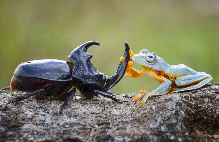 Миниатюрное родео: лягушка верхом на жуке (6 фото)