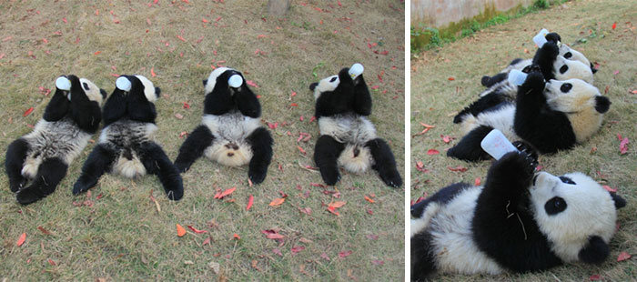 Китайский детсад для детенышей панд (18 фото)
