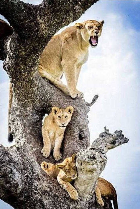 Львы на дереве (14 фото)