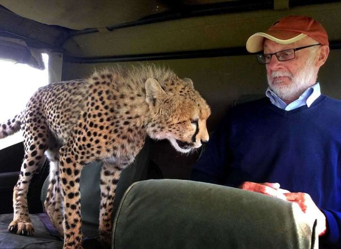Незапланированная поездка в компании гепарда (4 фото)