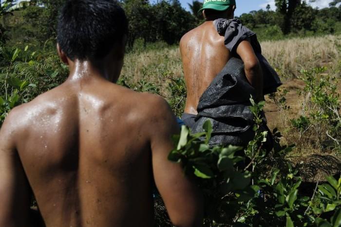 Как жители Перу коку выращивают (13 фото)