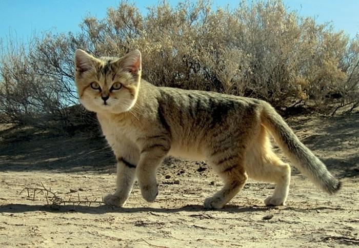 Барханный кот - кот, который всегда остается похожим на котенка (10 фото)