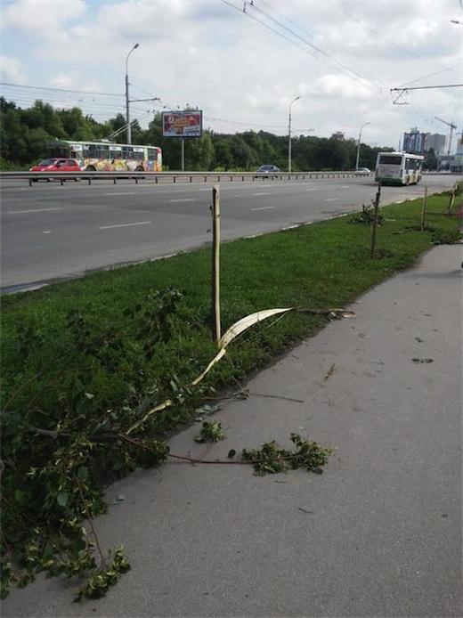В Рязани вандалы уничтожили молодую липовую аллею (3 фото)
