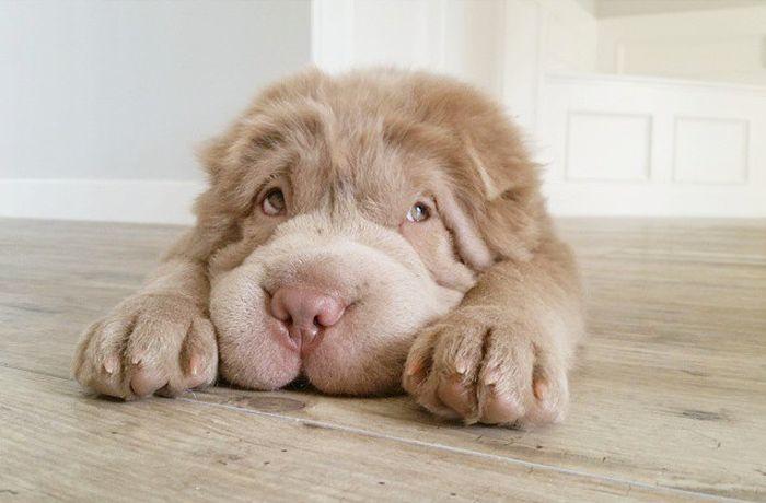 Пушистые шарпеи - одни из самых милых щенков в мире (23 фото)