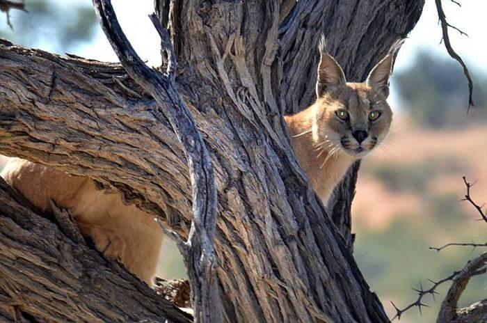 Спасаясь от степной рыси, дикая кошка совершила невероятный прыжок (4 фото)