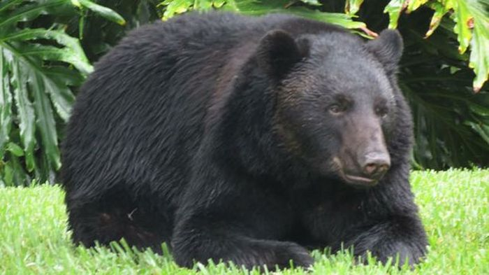 В США медведь полакомился украденным собачьим кормом и уснул на заднем дворе частного дома (3 фото)