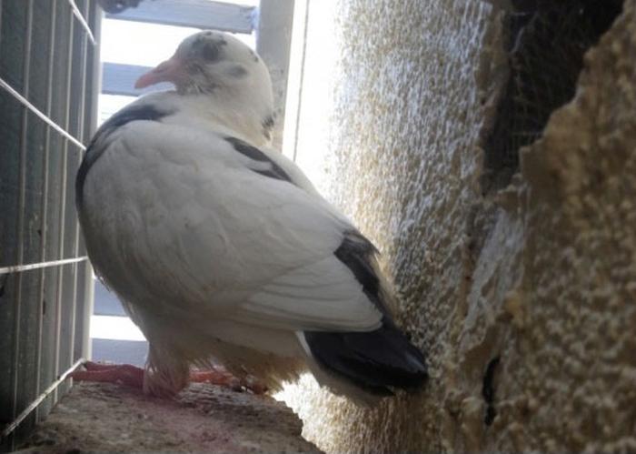 Гадкий голубёнок (13 фото)