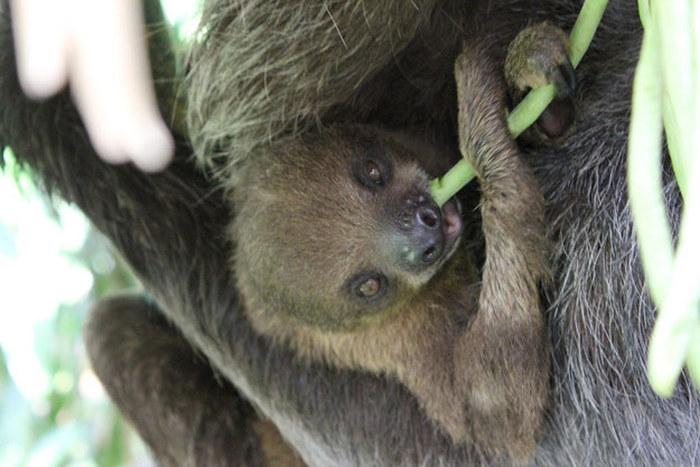 Любопытные факты о ленивцах (17 фото)