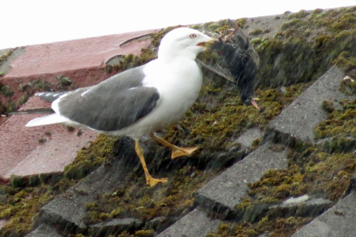 Чайка плотно пообедала (5 фото)