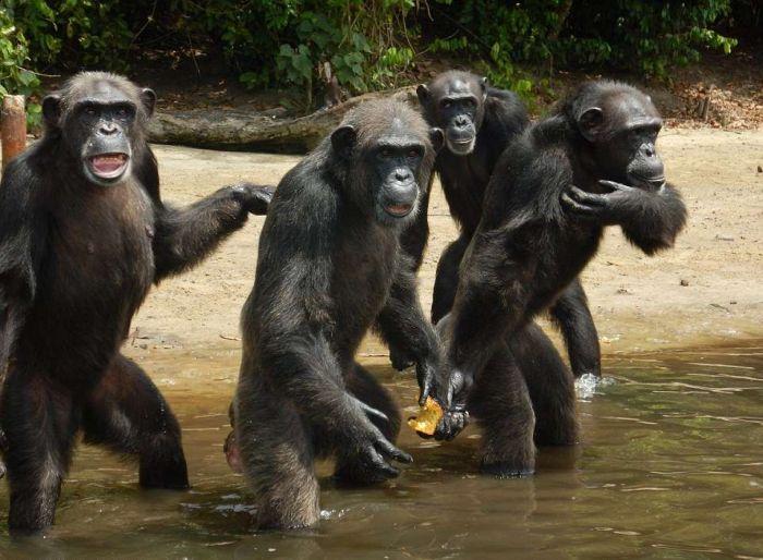 История 66 шимпанзе, брошенных на произвол судьбы после окончания экспериментов (10 фото)
