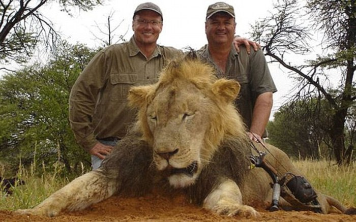Сесил, самый знаменитый лев Зимбабве, был убит американским охотником-дантистом (6 фото)