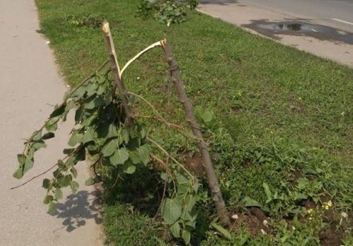 Полиция установила личность хулигана, сломавшего молодую липовую аллею в Рязани (фото + видео)