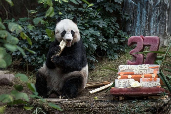 37-летняя панда Цзя-Цзя стала самой старой пандой в мире (3 фото)