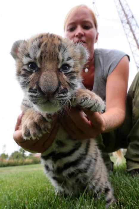 В словацком зоопарке люди и собаки растят маленького тигренка (9 фото)