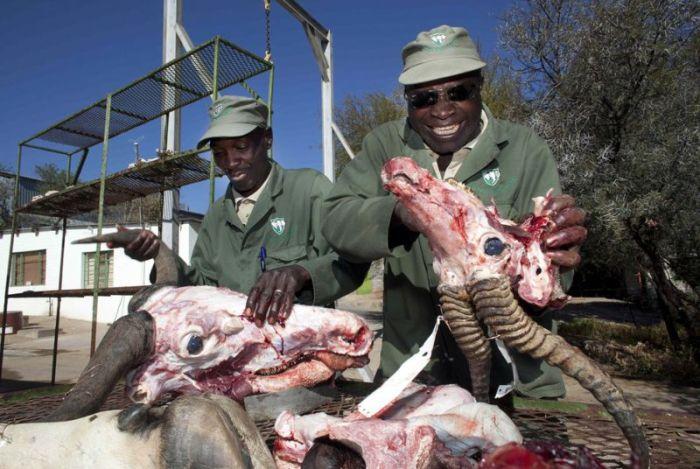 В таксидермической мастерской Намибии (17 фото)