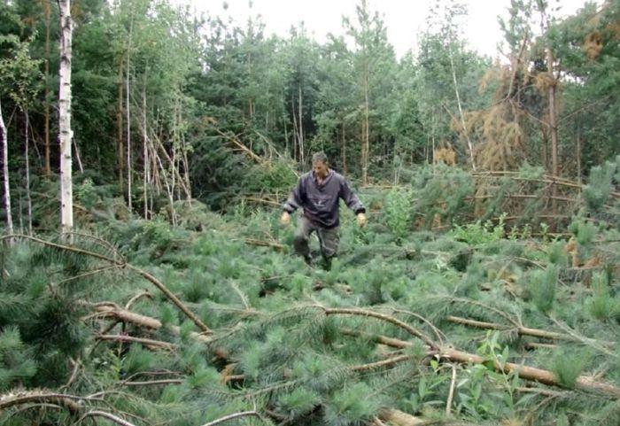 В лесу Челябинской области обнаружены аномально поваленные деревья (5 фото)