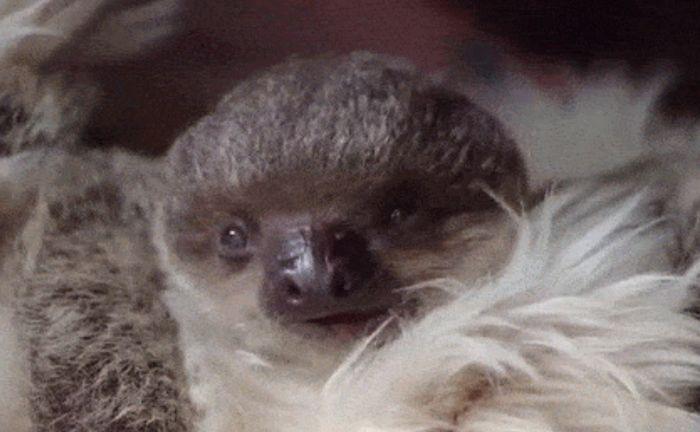 Очаровательный 7-недельный ленивец из Лондонского зоопарка (7 гифок)