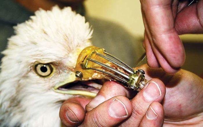 Канадский дантист спас орла (3 фото)
