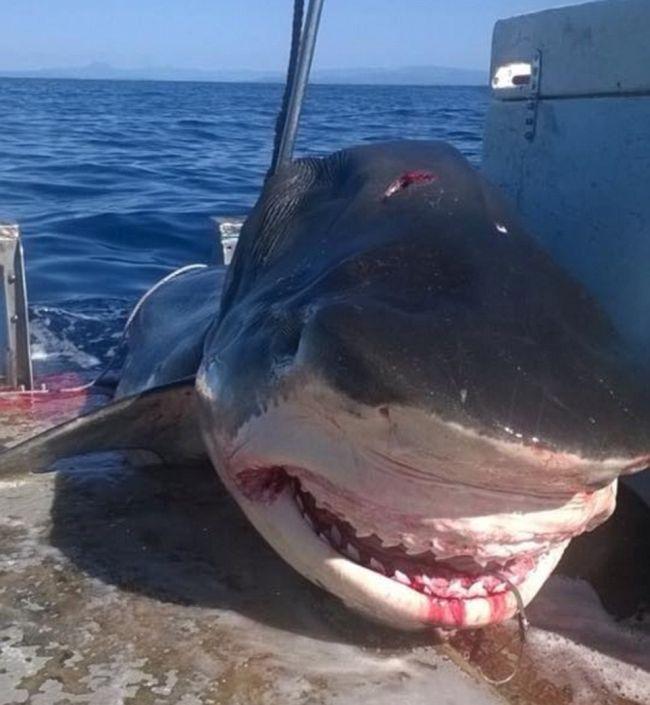 В Австралии обнаружили тело мертвой 6-метровой акулы (2 фото)
