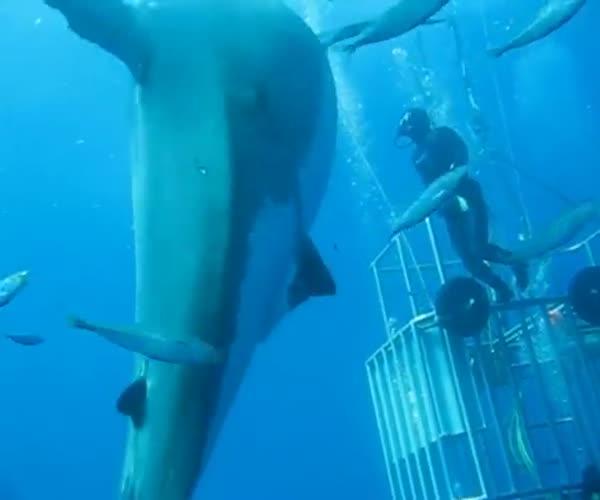Дайверы встретились с огромной белой акулой