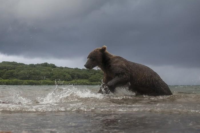Как фотографируют медведей в дикой природе (11 фото)