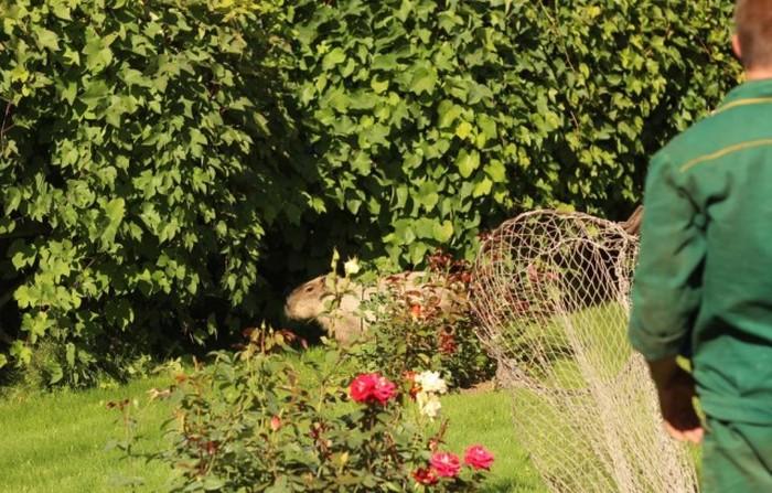 Сбежавшая капибара (9 фото + видео)