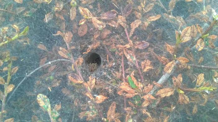 Гусеницы покрыли паутиной кусты в Лондоне (4 фото)