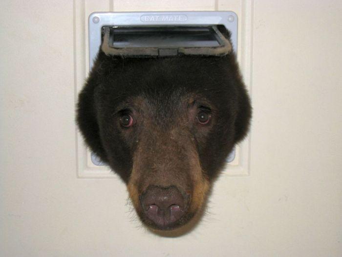 Американец обнаружил в своем доме медведя, застрявшего головой в кошачьей двери (4 фото)
