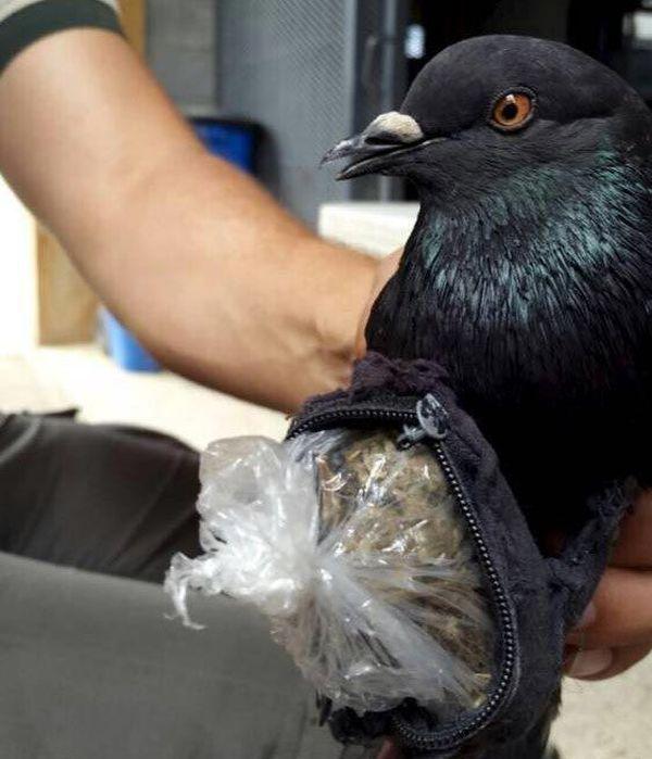 В Коста-Рике пойман голубь, пытавшийся доставить наркотики в тюрьму (3 фото)