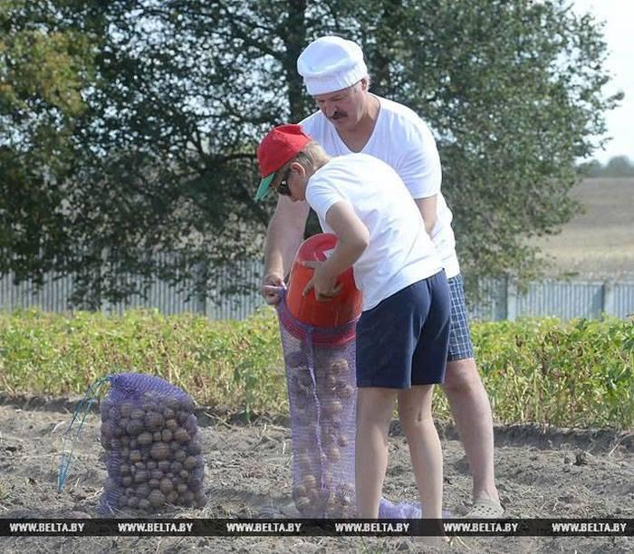 Александр Лукашенко с сыном собрал урожай картошки в резиденции «Дрозды» (6 фото)