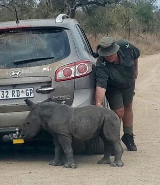 Детеныш носорога принял автомобиль за свою маму (3 фото)