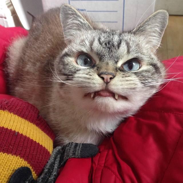 Кот-вампир по кличке Локи – новая звезда Instagram (19 фото)