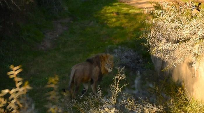 Неуклюжий лев упал в реку (6 фото)