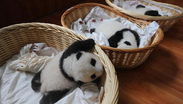 В китайском центре сохранения популяции панд устроили смотрины новорожденных детенышей (16 фото)