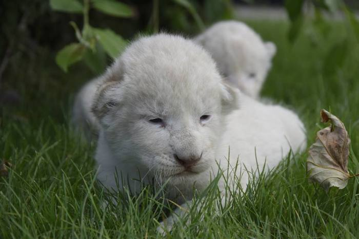 В крымском сафари-парке «Тайган» родились восемь белоснежных львят (6 фото)